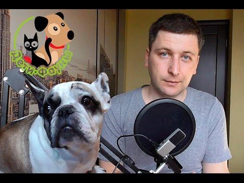 Ложная беременность у собак, основные симптомы, лечение