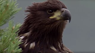 Young Eagle Learns how to Fly | BBC Earth