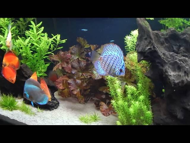 Aquário discos plantado 480 litros -Discus Fish Aquarium