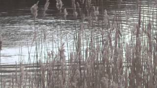 Cormorant hunting RSPB Minsmere Suffolk UK 8Feb15  1240p