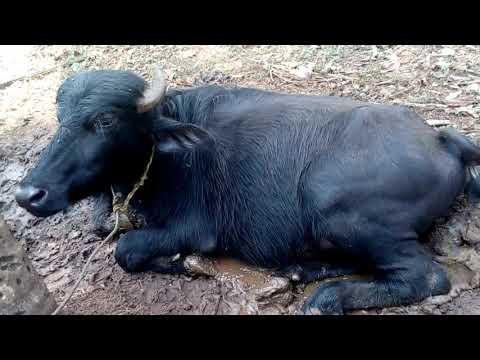 Buffalo farm Kerala