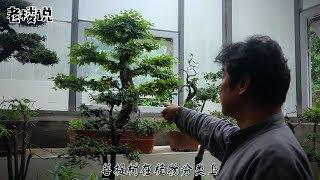 往期视频补发:历史悠久又古老的一棵树?跟我一样有信念的人都要去养它!