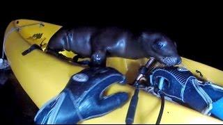 Sea Lion Pup Takes Kayak Ride