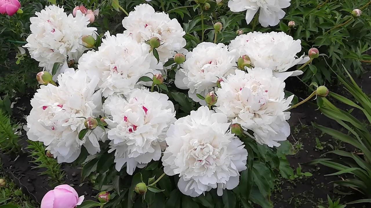 Пион Фестива Максима.Молодой куст раскрыл свои цветы.Июнь 2020.