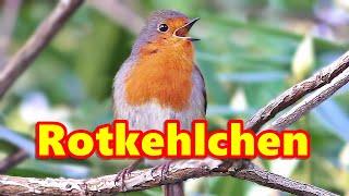 Robin Birds Singing - Beautiful Birds and Birdsong