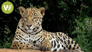 Secret Brazil: Jaguar, the king of the Pantanal | Animal documentary - Part 1/2