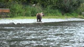 Grizzly Cub Fishing Russian River Alaska