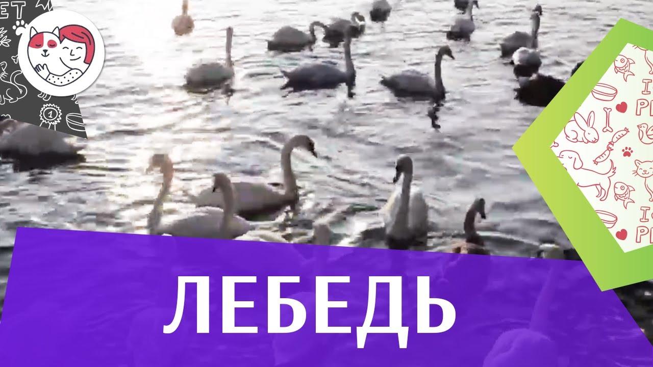 Лебедь Образ жизни на ilikepet
