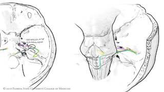 The Facial Nerve (CNVII): Animated Review