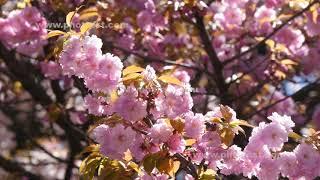 八重桜の動画素材, 4K写真素材