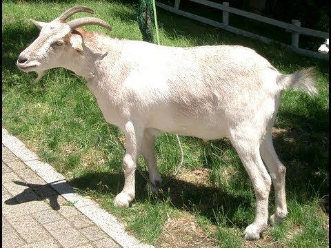 Goat Sex Argument Turns Violent