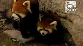 Red Panda Cubs are So Much Fun - Cincinnati Zoo