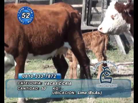 Lote VACA CON CRIA - Lima Bs As