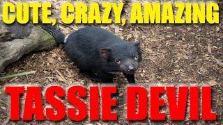 Tasmanian Devil / Tassie Devil - Amazing Footage and Images of the Tasmanian Devil.