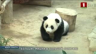 Все о программе «Панда-дипломатия». Вокруг планеты