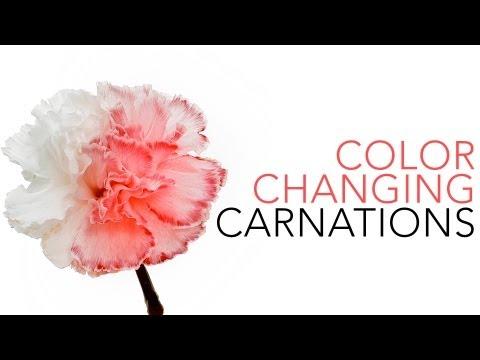 카네이션 색깔 바꾸기