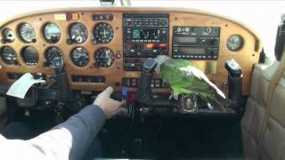 Truman Cape Parrot - Airplane Flight to Sky Manor