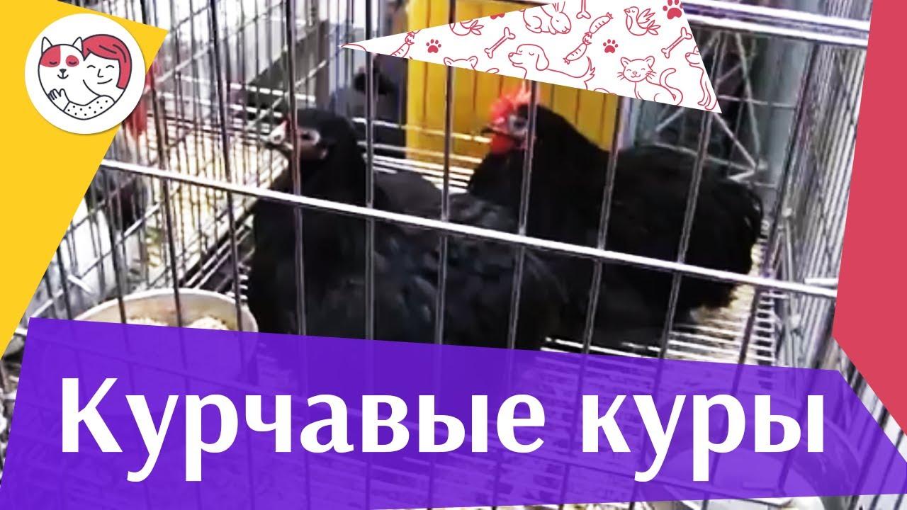 Порода  кур КУРЧАВЫЕ Агропромышленная выставка Золотая  осень 2016 iLikePet