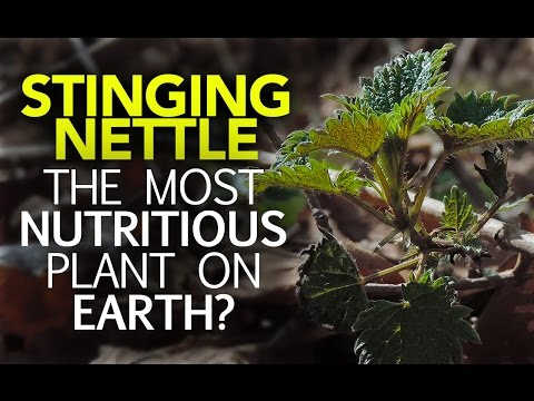Video Stinging Nettle — The Most Nutritious Plant On Earth?