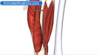 Muscles of the Thigh Part 2 - Posterior Compartment/Hamstring Anatomy