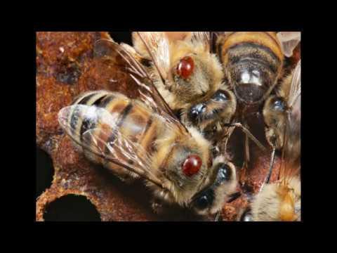 Доклад по экологичным методам лечения пчёл