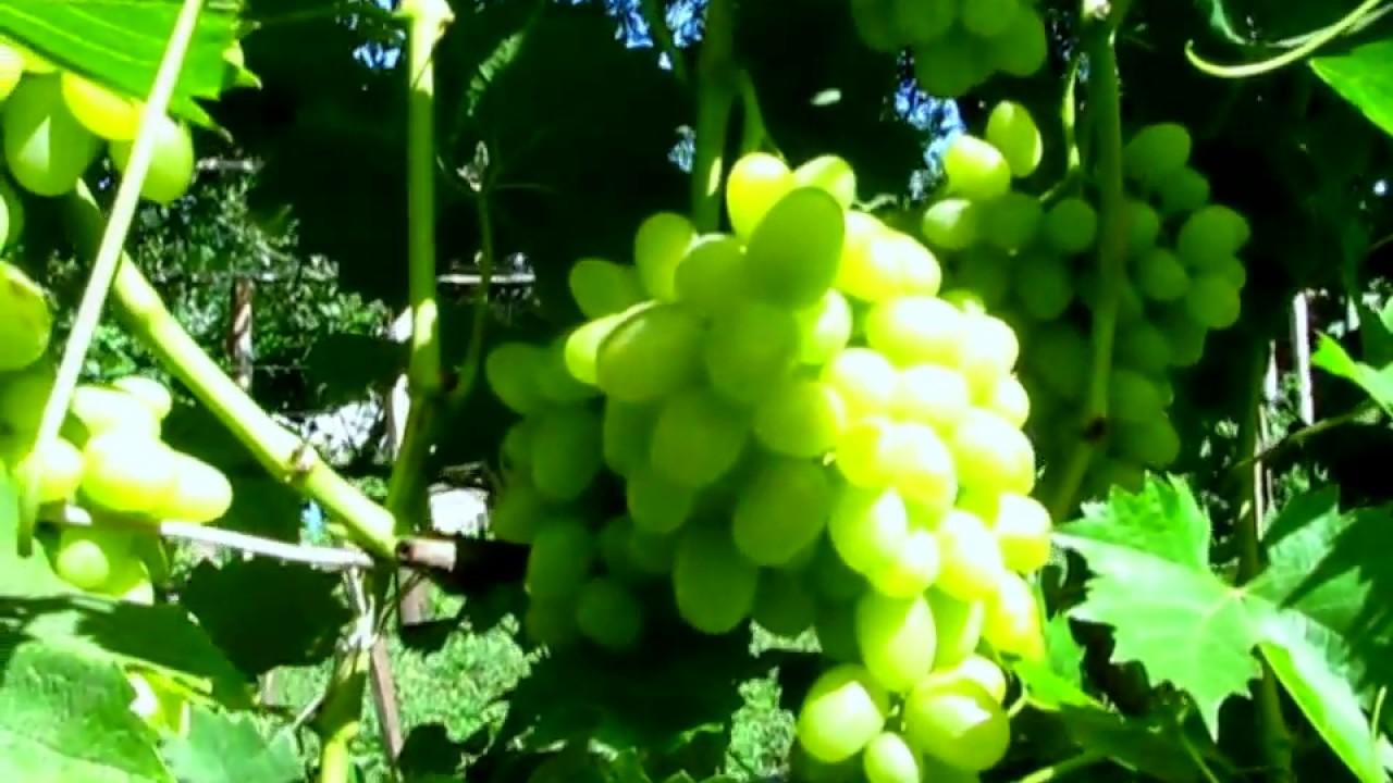 Аркадия надежный виноград