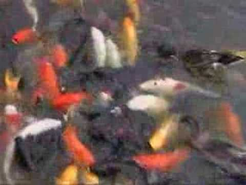 Crazy Koi Fish
