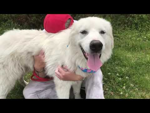 Luna, an adoptable Great Pyrenees in Long Beach, NY_image-1
