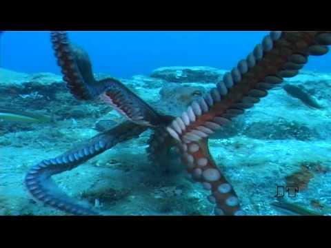 Oktopus - Fighting mit Paul's Artgenossen, St. Raphael / Cote Esterel / Ile d´Or,Frankreich