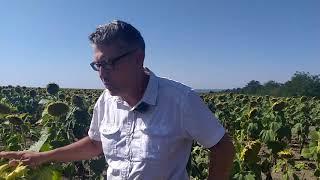 Семена устойчивые к ЕвроЛайтингу Экватор 1,0-1,2л/га. Подсолнечник устойчив к засухе и шести расам заразихи A-F. от компании ТД «АВС СТАНДАРТ УКРАЇНА» - видео 2