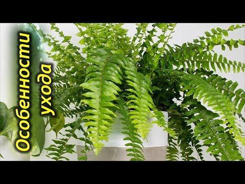 Папоротник комнатный – секреты и особенности выращивания.