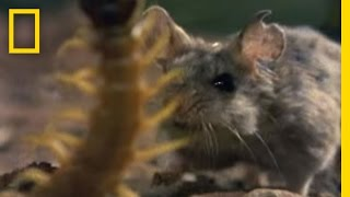 Giant Centipede - Hunting Grasshopper Mouse