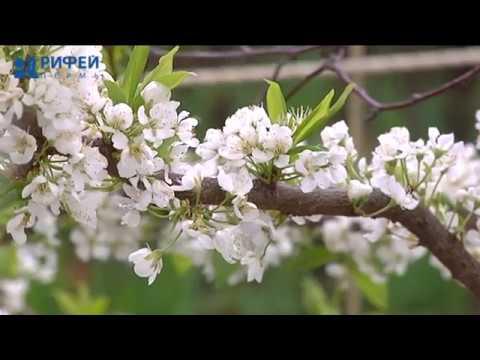 Зеленый участок. Искусственное опыление плодовых деревьев