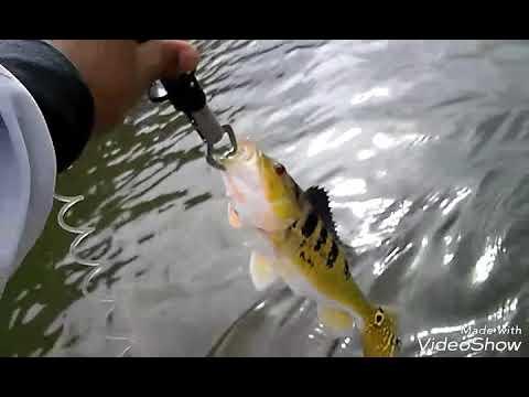 Pesca em brauna saiu trofeu de 55cm
