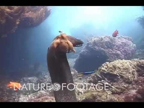 Octopus rides moray eel to avoid its jaws