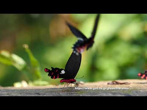オオベニモンアゲハとアルクメノールアゲハ Atrophaneura polyeuctes