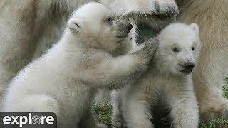 Ouwehand Park Polar Bear Cubs Powered by Explore.org