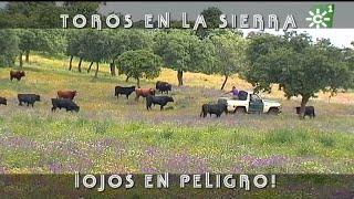 PGM 493 Toros En La Sierra CUIDADO DE LOS OJOS SANCHO DÁVILA  PARTE 1