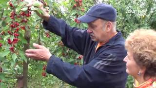 Какой сорт вишни лучше посадить в подмосковье