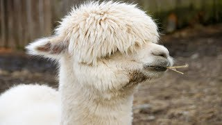 Animal Cool Facts: 5 Things You Didnt Know About Llamas