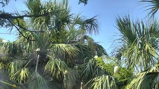 Alligator Swamp and Spoonbills Cam 06-08-2018 06:03:26 - 06:42:11