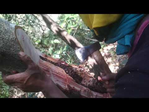 Madu trigona, lanceng hutan