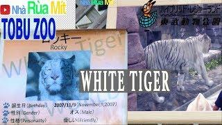 東武動物公園__ホワイトタイガーTOBUZOOPark_WhiteTiger_4K