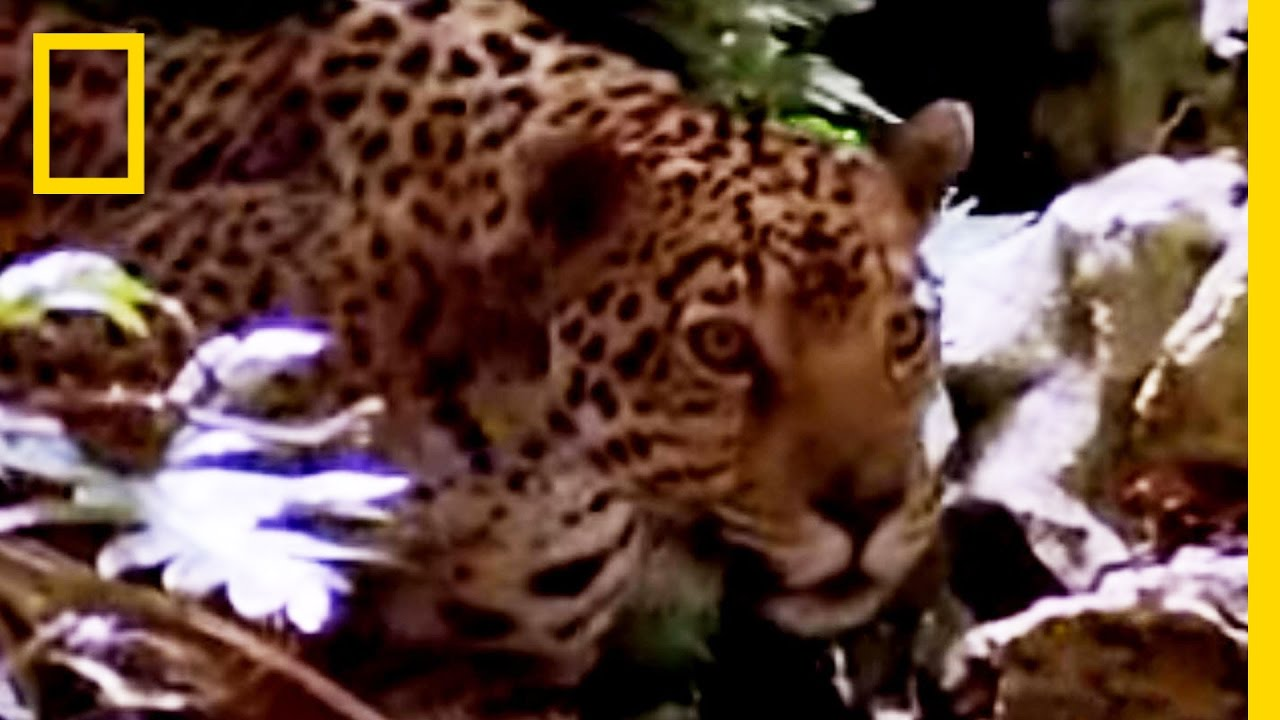 Jaguar vs. Croc | National Geographic thumbnail