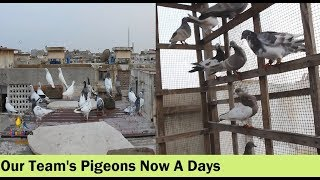 ColorFul Birds And Animals Team Pigeons Loft After Long Time