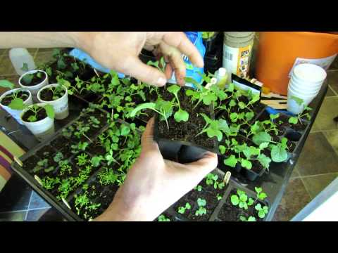 Seed Starting Kohlrabi, Kale, Broccoli, Brussels Sprouts, Cabbages: Planting, Feeding, Transplanting