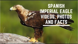 Spanish imperial eagle videos, photos and facts