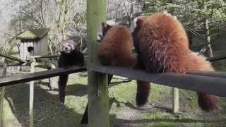 preview picture of video 'Red Pandas at Dudley Zoological Gardens'