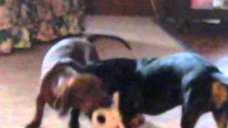 Miniature Dachshunds Playing With Bobo