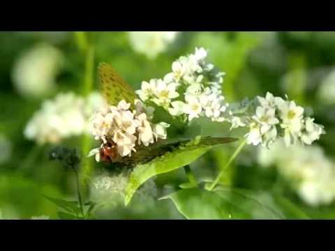 ソバ畑の蝶(E-PL3デジタルテレコン)